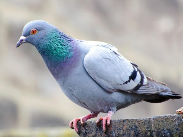 pigeon was sold